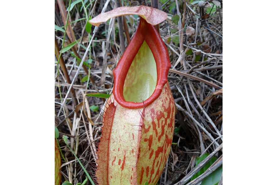 Carnivorous Pitcher Plants , credit Franc ois Mey
