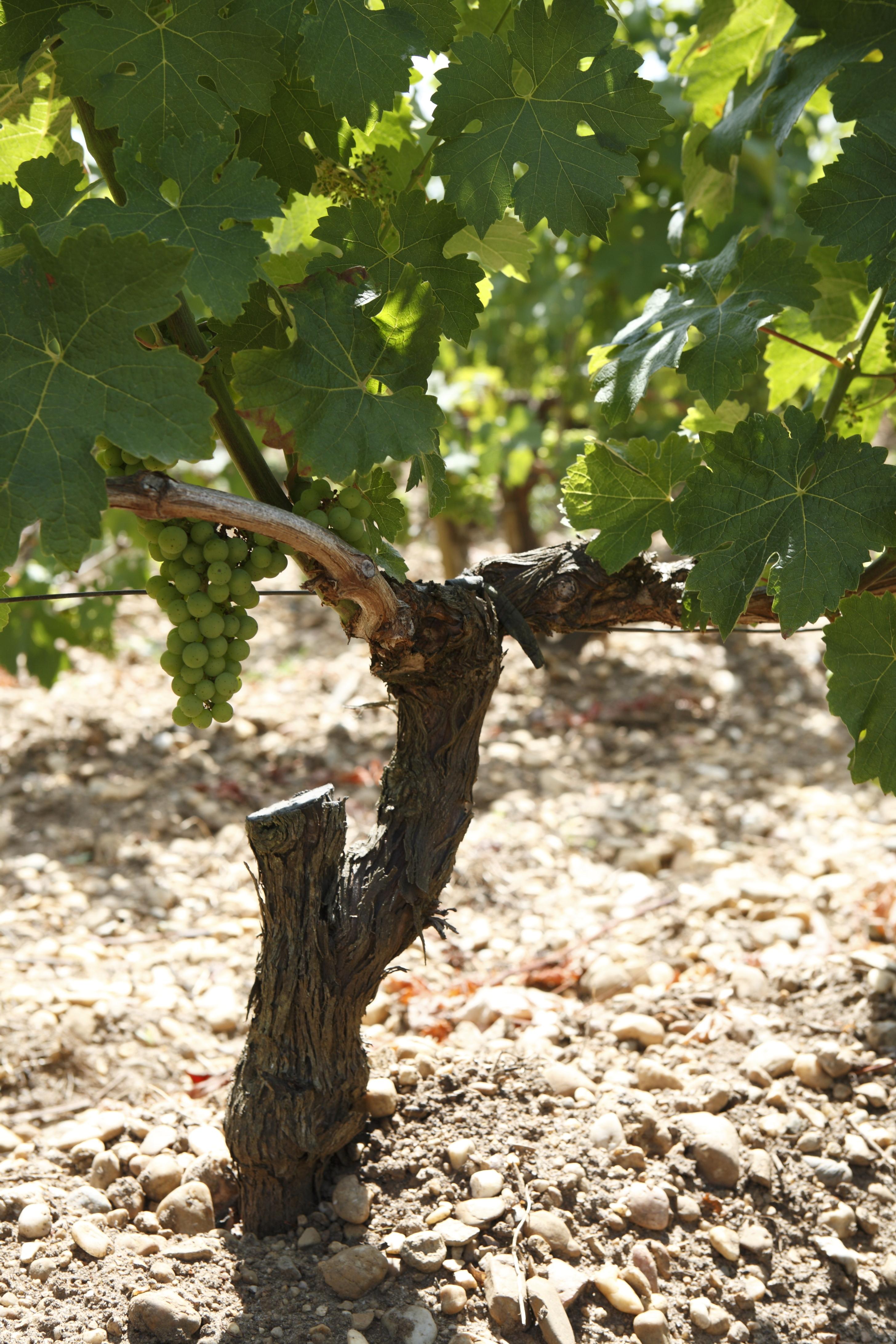 Pied de vigne   Vine stalk   Rodolphe Cellier