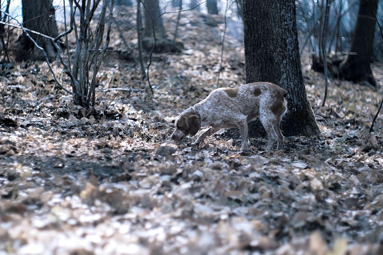 Il ritrovamento del famoso tartufo avviene grazie all'olfatto molto sviluppato dei cani addestrati