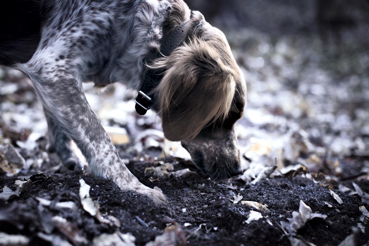 Usando un metodo basato sulle capacità naturali dei cani e al loro acuto senso dell'olfatto, gli animali sono abilmente addestrati a identificare la posizione dei tartufi alla base di querce e noccioli