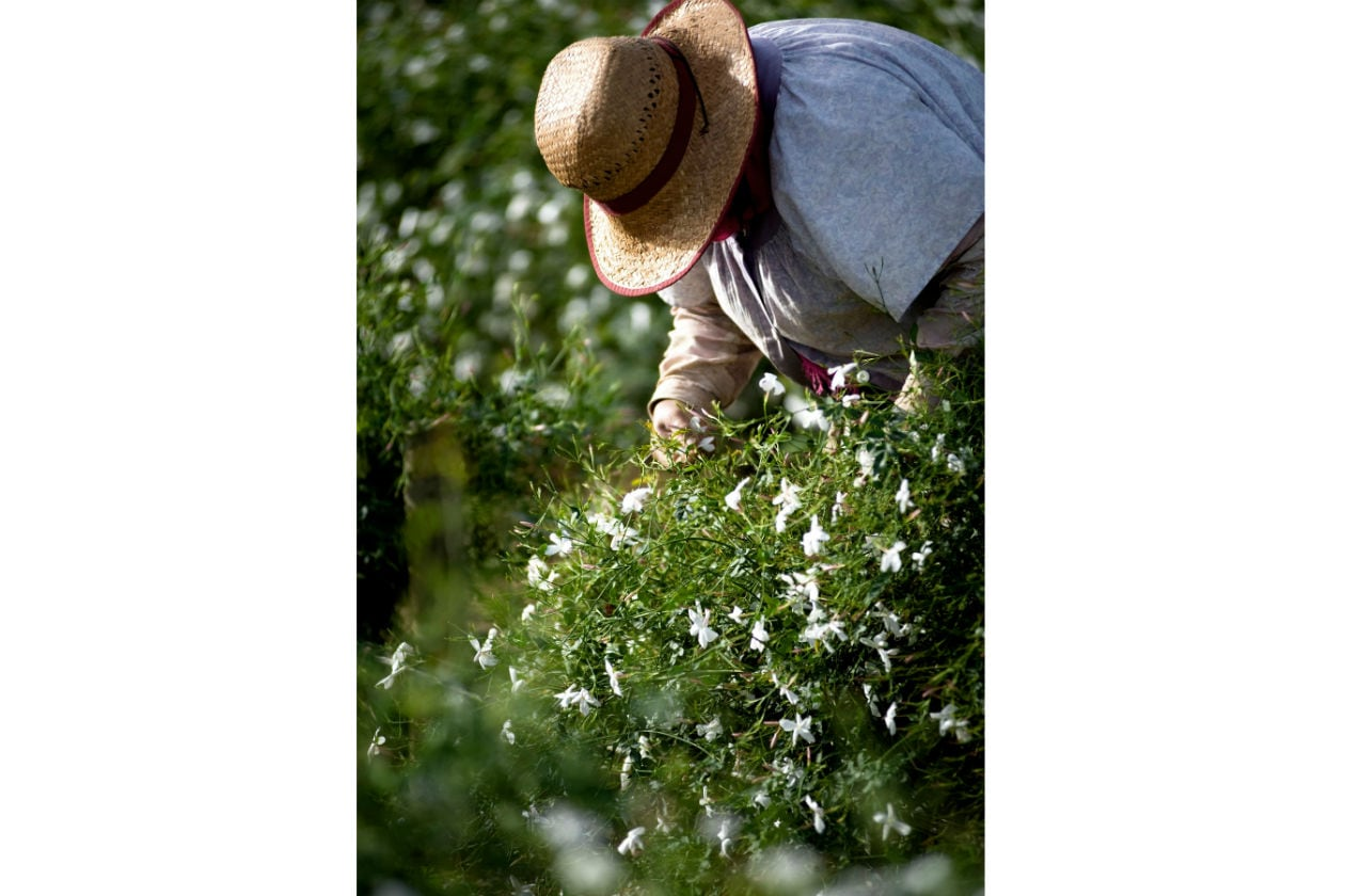 Così come la Rosa di Maggio, questo Gelsomino richiede grande delicatezza al momento della raccolta.