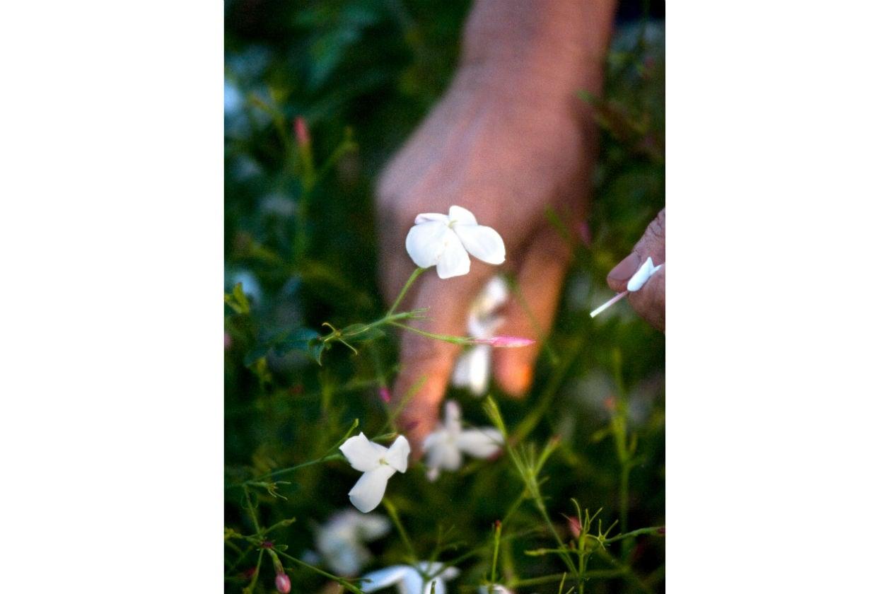 Questo fiore così fragile cresce su cespugli alti meno di un metro