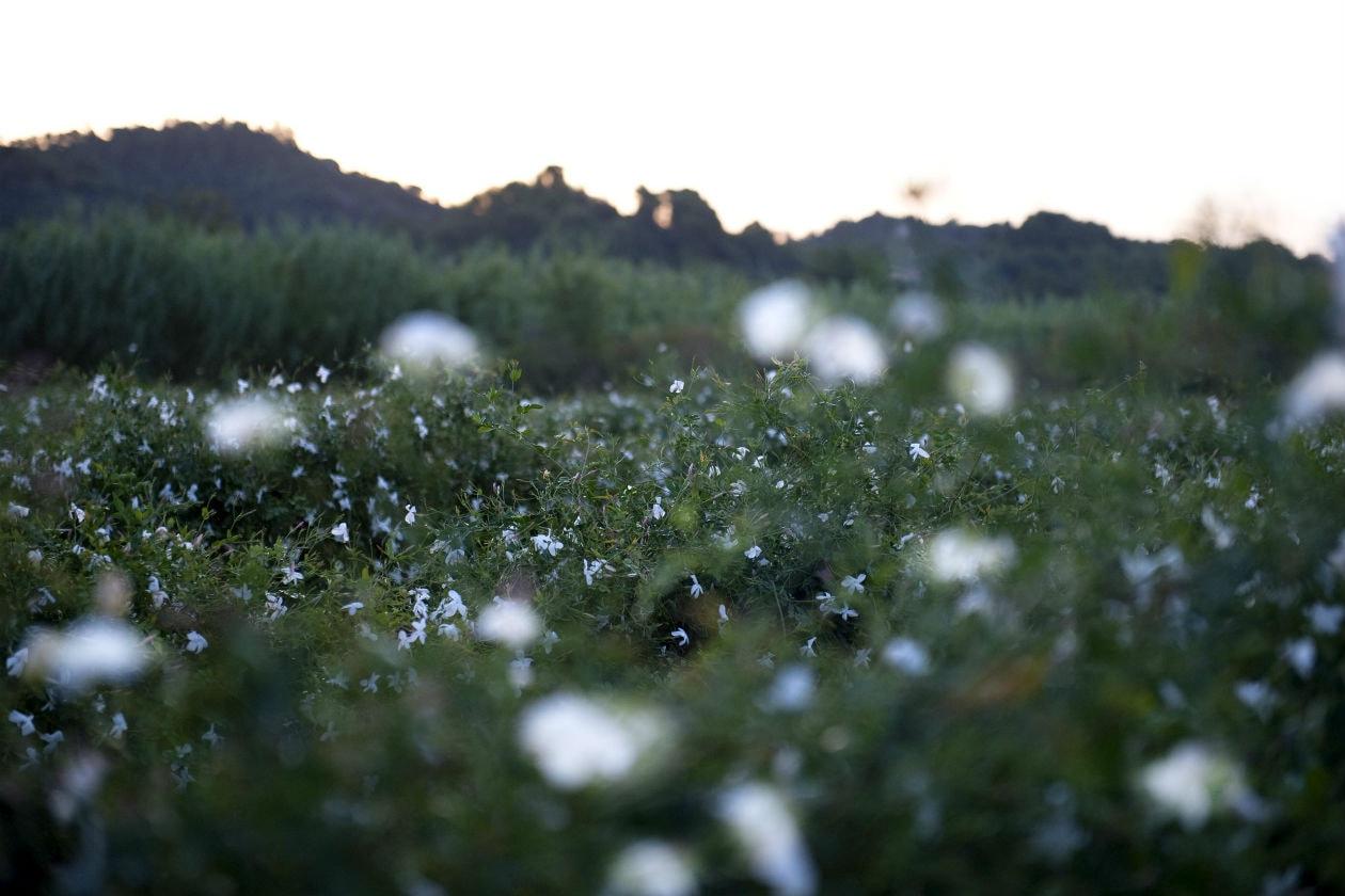 Un campo di Gelsomino a Grasse, culla della profumeria francese