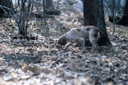 Il-ritrovamento-del-famoso-tartufo-avviene-grazie-all-olfatto-molto-sviluppato-dei-cani-addestrati