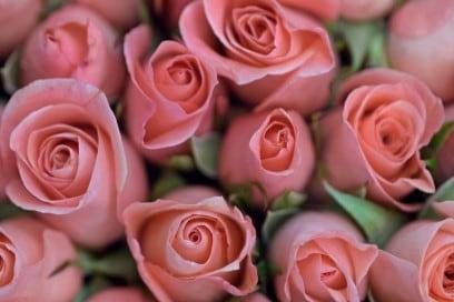 roserosa