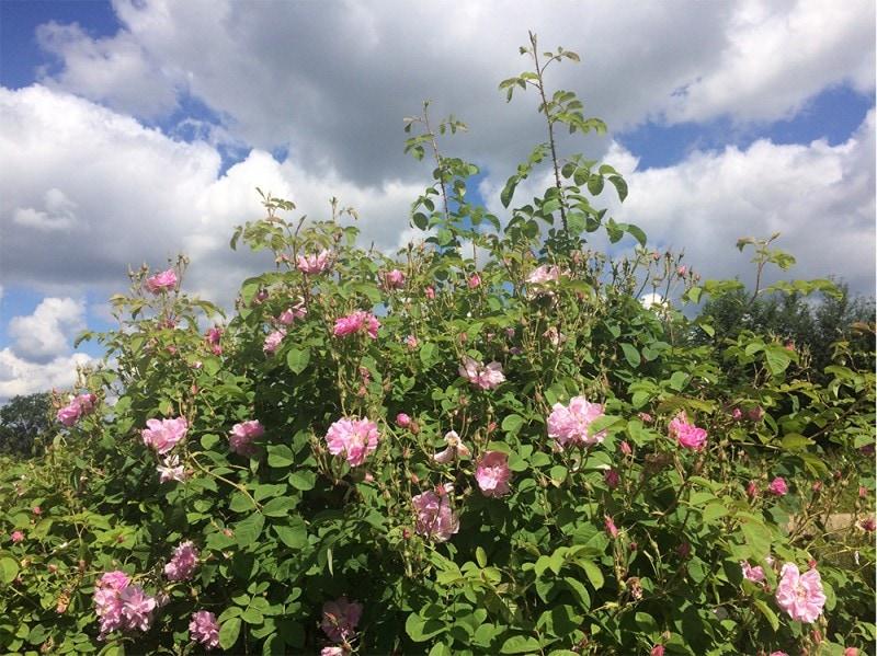 Weleda-giardini-collezioni-pe2016-giardini-8-rosadamascena