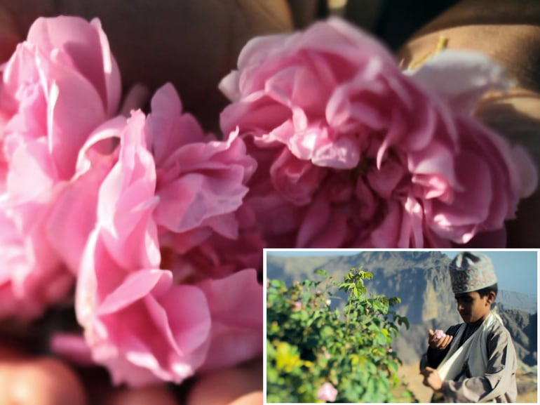 Viaggio in oman profumi omaniti rose raccolta delle rose Oman incenso pregiato