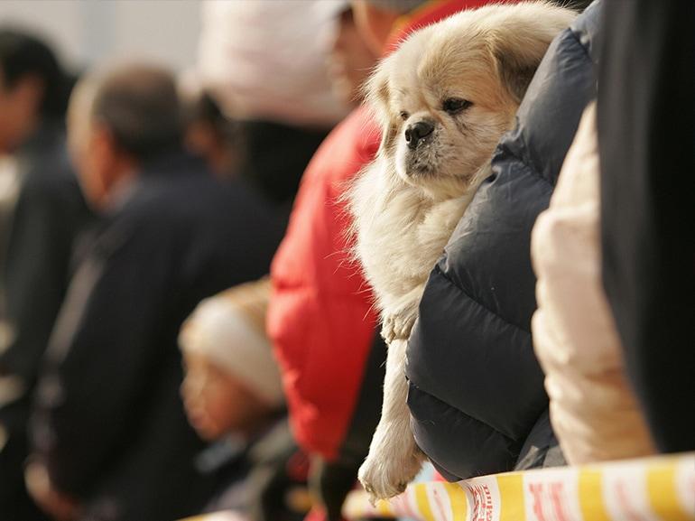 cane cinese