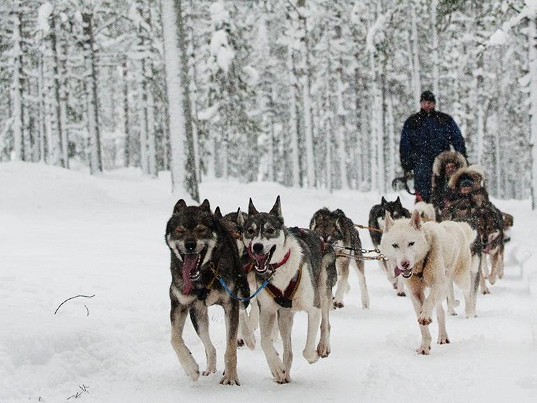 cani slitta finlandia neve