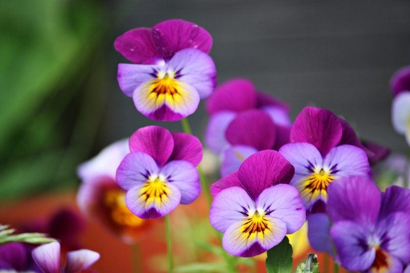 pixabay violetta