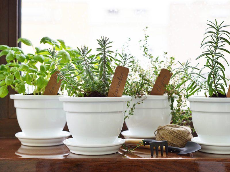 Fresh herbs in pot