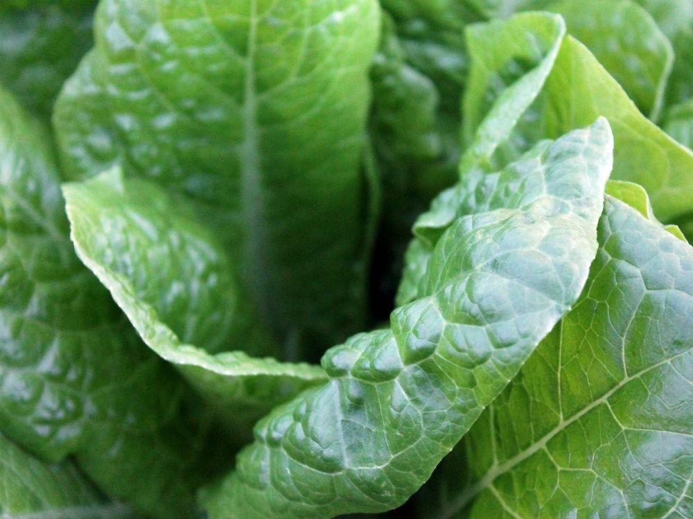 lattuga insalata