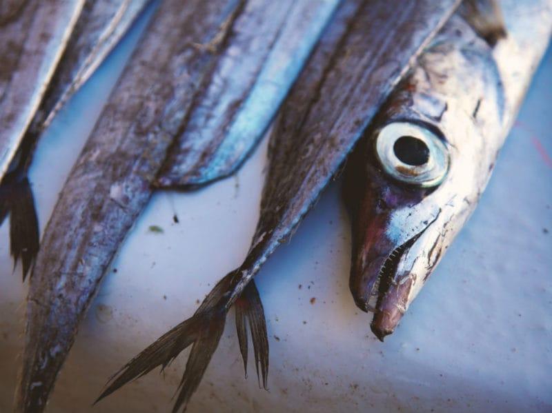 sardine pesce