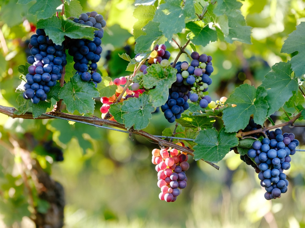 rossetti color vino (3)