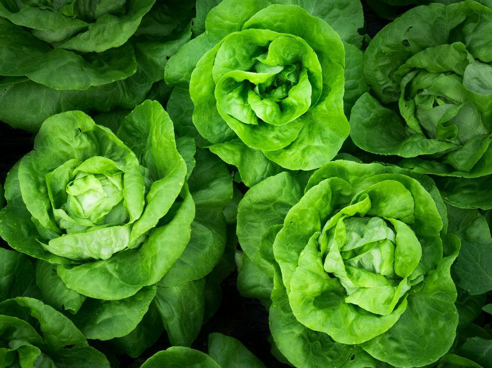 Lattuga verdura