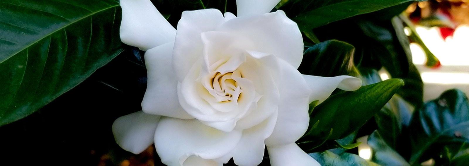 profumi-alla-gardenia-desktop