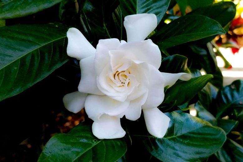 Profumi alla gardenia: il fiore bianco dalle note verdi e cremose