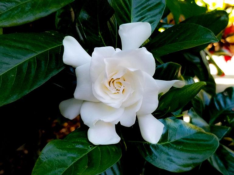 profumi-alla-gardenia-mobile