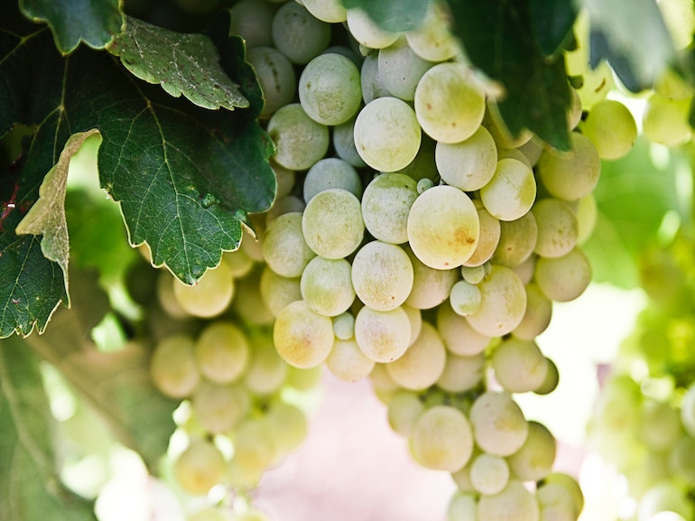 uva vino