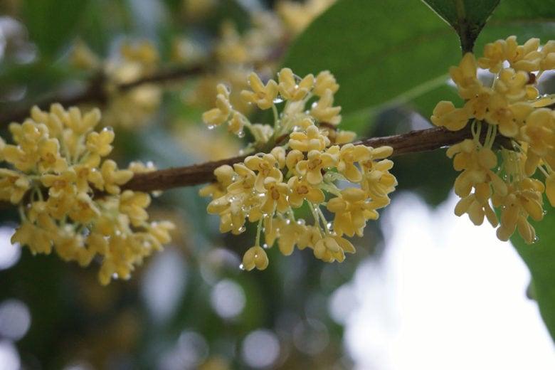 Profumi all'osmanto: il piccolo fiore originario della Cina dalla fragranza intensa e soave