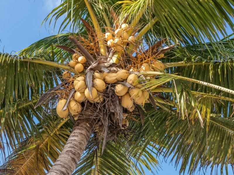 cocco pianta