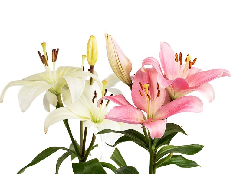 GIGLIO significato fiori