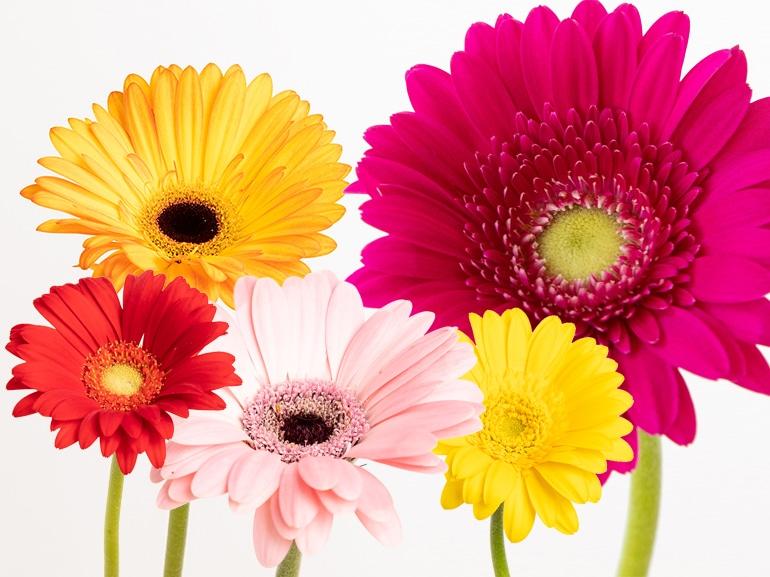MARGHERITA significato fiori
