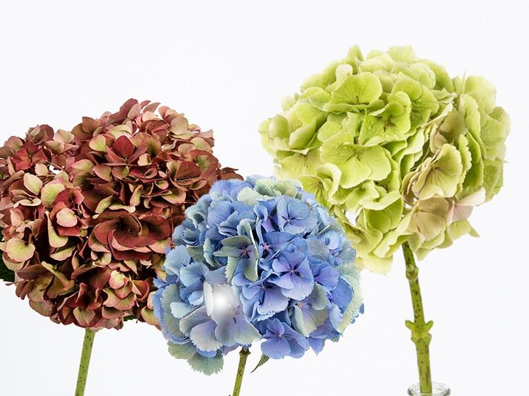 ortensia significato fiori