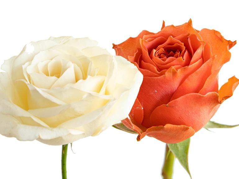 rose significato