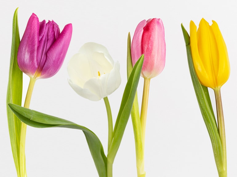 tulipani significato fiori