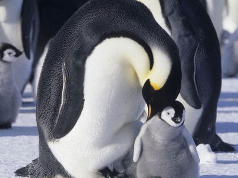 06 la marcia dei pinguini